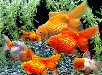 管理心得:小金鱼的思想