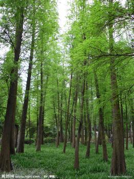 壁纸 风景 森林 杉 树 桌面 262_350 竖版 竖屏 手机