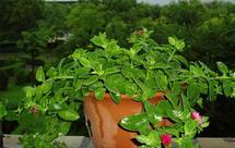 防辐射植物哪种好?