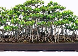 姿态万千,一组榆树盆景图片欣赏