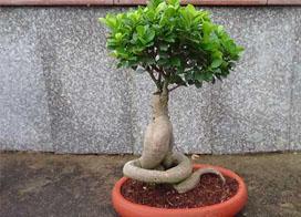 18款榕树盆景图片,一起来欣赏榕树造型