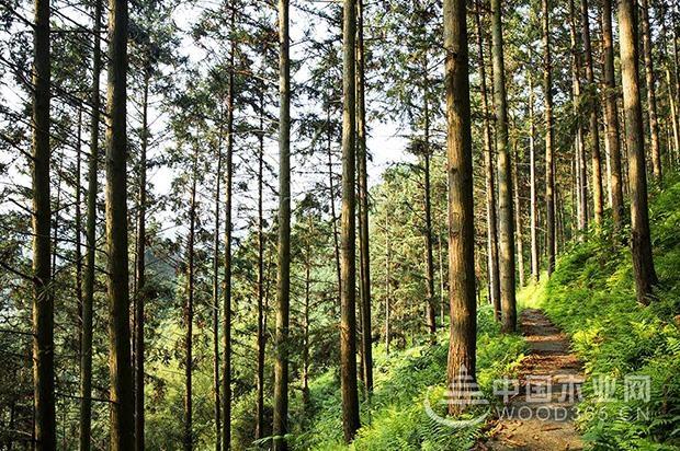 壮象:香杉的秘密,它凭什么被称为国木之首?