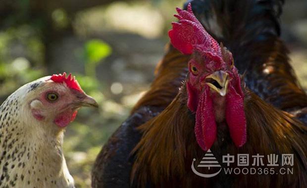 固执的公鸡