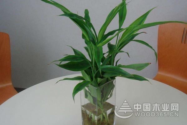 水养富贵竹图片欣赏