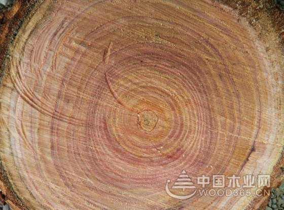 苦楝木木材知识