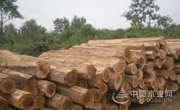 甘巴豆木材产地和优缺点介绍