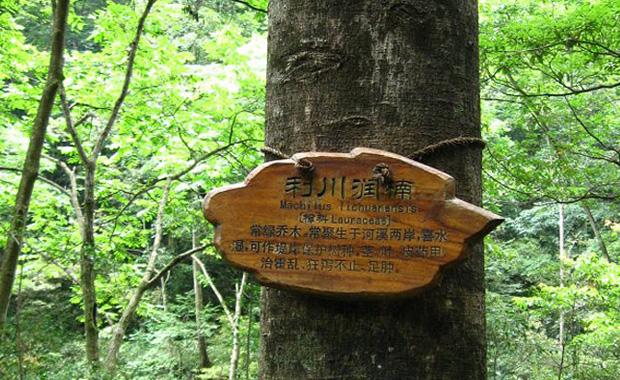 楠木树图片展示和知识大全