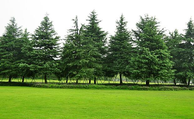 常青树有哪些品种?常青树的种类有哪些?