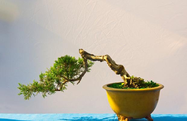 榕树盆景怎么养?