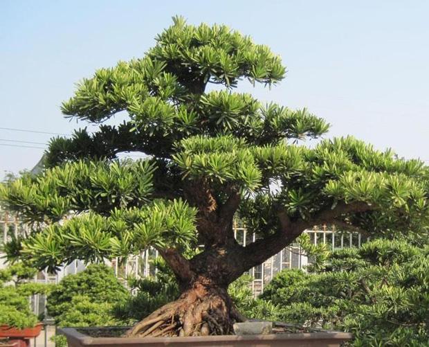 日本罗汉松的养殖方法和价值