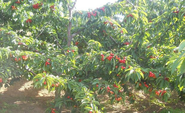 樱桃什么时候成熟 樱桃树几年结果图片