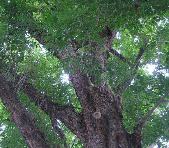 檀香木的树心是名贵的药材,枝干与根部可以提炼精油,连叶子和被修剪的