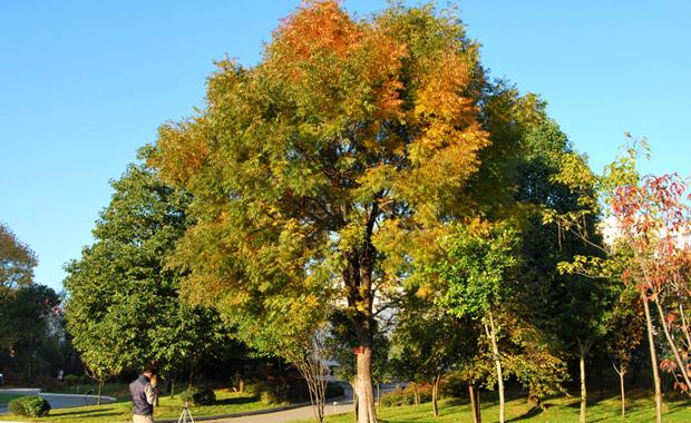 黄连木树介绍和黄连木毛衣价格下摆开衫图片