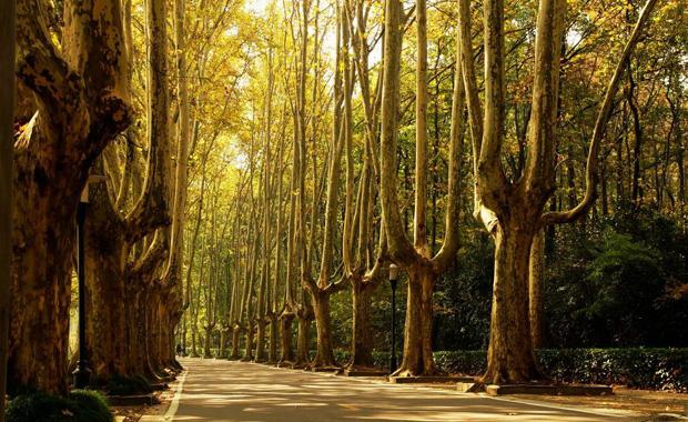 梧桐树的特点和梧桐树图片展示2
