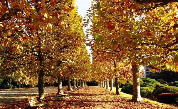 梧桐树的特点和梧桐树图片展示4