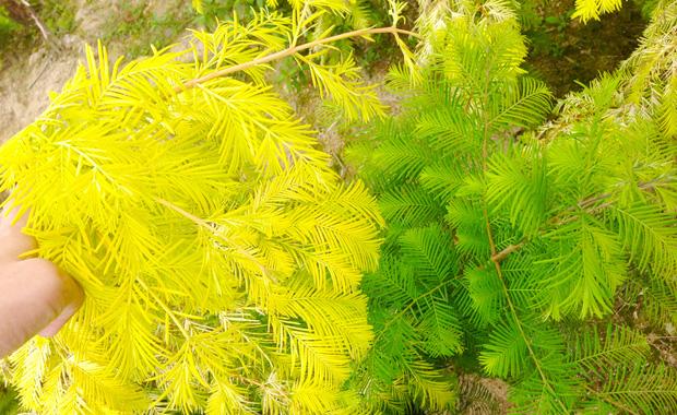 金叶水杉引种栽培和水杉图片展示