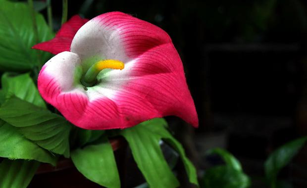马蹄莲的养殖方法和马蹄莲图片展示