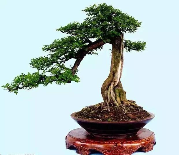 榕树的养殖方法(基本知识):      最佳繁殖时间:榕树的最佳繁殖时间为每年的春节,定植时间选为秋季为好。      最佳生长土壤:榕树盆景的培育土壤一般要求是疏松透气偏酸的黑石粉泥、河沙、建筑用石粉、煤渣等,而且这些培养土较易取得。培养土采用疏松、通水性好的腐叶土,通常的比例为园土:腐质土:沙=2:2:1。盆景上方最好放置与盆大小一致的苔藓,这样一来是美观,二来对排水透气起到很好的作用。      生长湿度要求:榕树喜欢湿润的环境,所以保持土壤的湿润最好,太湿润又对植株的发育不利。      最佳生