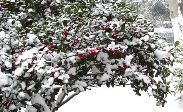 冬青树的资料和冬青树图片展示