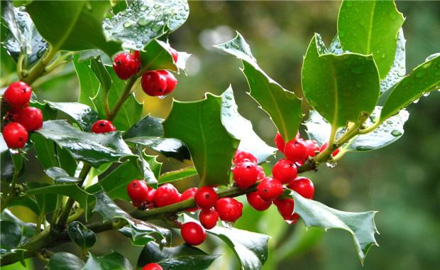 常绿灌木及小乔木植物名称3