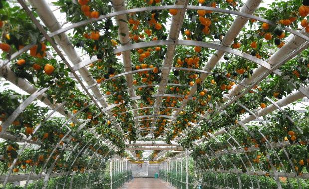无土栽培番茄种植方法介绍