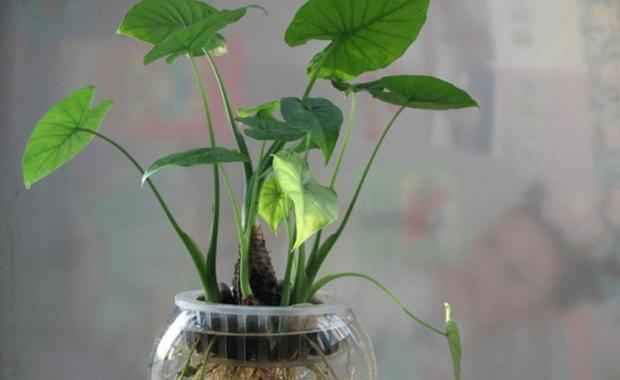 千手观音植物的养殖方法