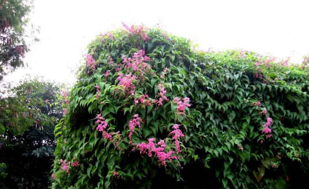 珊瑚藤的养殖方法