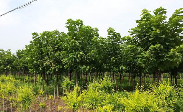 楸树介绍和种植方法