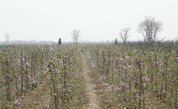 桃树的种植方法:      第一步:土壤。土壤是桃树养殖的首要条件。桃树喜肥沃且通透性好、呈中性的沙质壤土,如果是在重盐碱的土壤栽植,桃树不仅植株不能开花,而且病虫害严重。      第二步:浇水。桃树是耐旱,怕水湿,一般除早春及秋末浇水外,其他季节都不用浇水。但在夏季高温天,还是要适当的浇水。遇到连续的水灾天气要做好排水的工作。以防水大烂根导致植株死亡。      第三步:阳光。桃树喜干燥向阳的环境,所以在桃树种植的时候要选择地势较高且无遮阴的地点,桃树是不宜栽植于沟边及池塘边,也不宜栽植于