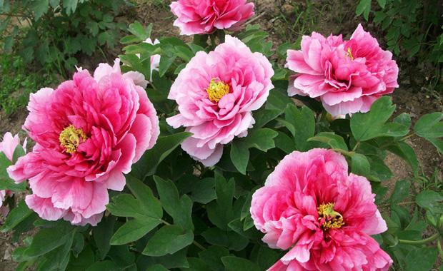 很多花友,习惯性的认为春天是牡丹移栽的最佳时候,其实这是错的,花谚有一句话是这么说的:早春种牡丹,到老不开花。可见春季移栽牡丹是很不明智的(很多花友都吃过这个亏)。      之所以说牡丹不适合春季移栽,是因为牡丹是夏季休眠型植物,入秋天气转凉之后结束休眠,花芽分化,孕蕾。春节前后似乎是花芽壮大,植株最不耐移栽的时候。    牡丹移栽的方法:      牡丹移栽种时如果土质排水不好可以稍掺些砂子或煤碴,尽量种植在坡处或稍高点的地点,做到不积水即可,种后把土踩实,如气温过高尽量不要浇水(容易秋发)入