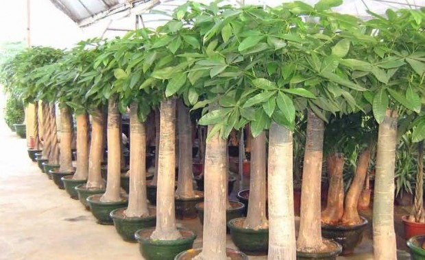 发财树的养殖方法和注意事项3