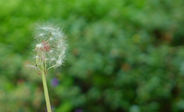 多裂蒲公英植物介绍