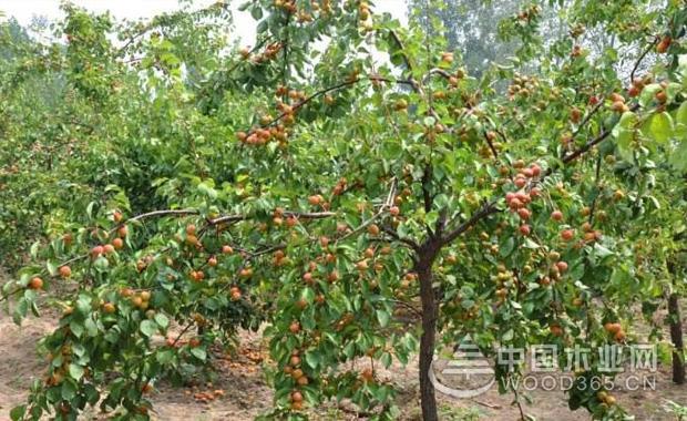 开心果树介绍和开心果树图片展示