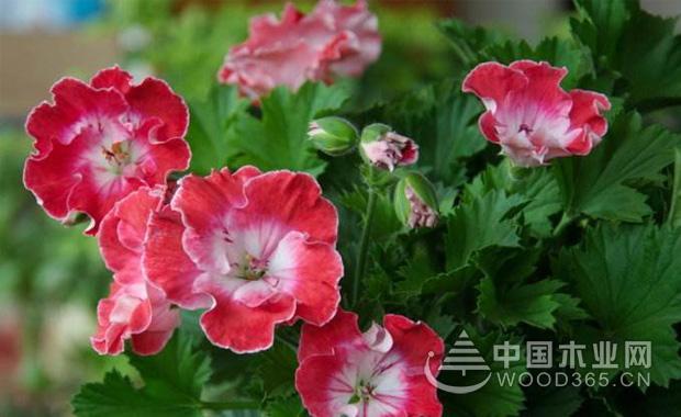大花天竺葵的养殖方法