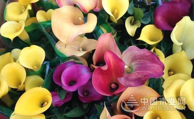 彩色马蹄莲种植注意事项