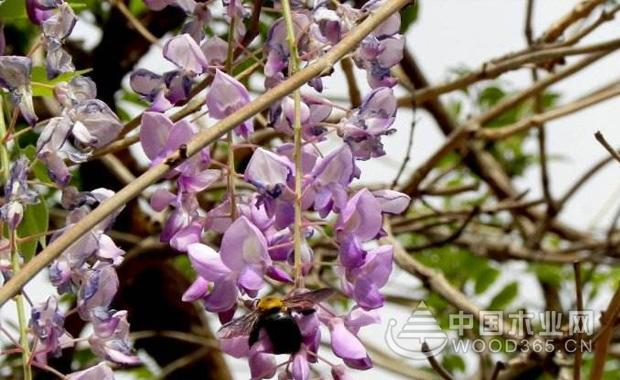 紫藤别名藤萝,朱藤,黄环