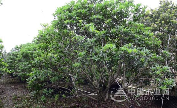 杨梅树木介绍丨杨梅树图片