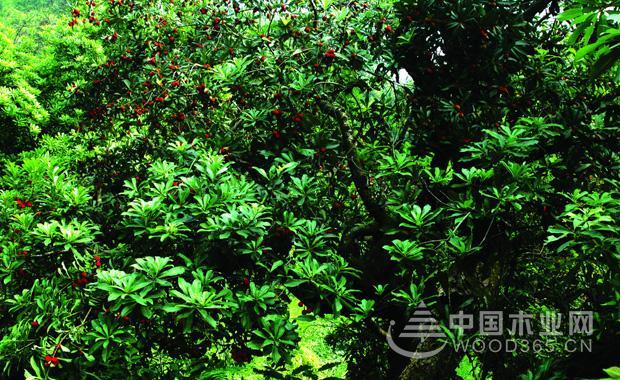 杨梅树木介绍丨杨梅树图片2