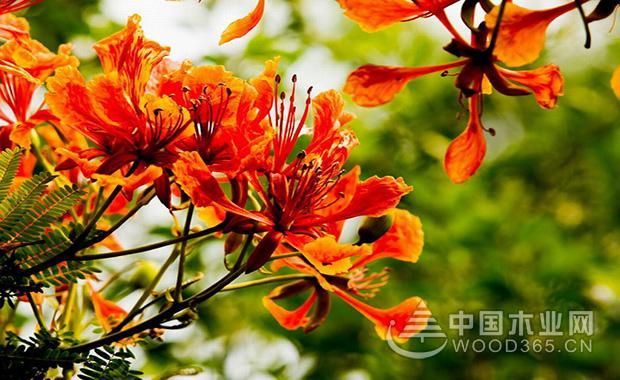 凤凰花开时节,也是塞班岛一年中最美丽的季节