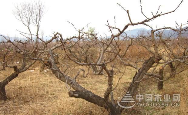 桃树修剪技术详细介绍