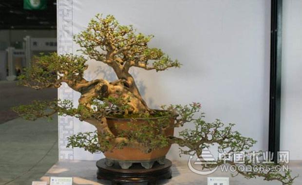 黑骨茶算是四季常青类型的植株盆景,每一个季度都可萌发一次新梢。所以一年四季都是可以动剪的,而每一次的修剪要在新梢老熟以后才能进行,但是还是要以春秋两季为最好的,黑骨茶不容易失枝,可以对它进行独枝修剪,而在萌芽以后要选留壮芽,如果任由新芽自由的生长是很难达到横展枝的要求的,这个是必须注意的了。      以上呢就是小编为大家介绍的关于黑骨茶盆景的培养方法以及图片的欣赏,黑骨茶盆景是一种非常高端大气上档次的收藏类型的盆景,当然大家在对它培育的时候一定要十分的细心,这样才能让黑骨茶更加的具有生机。