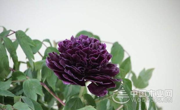 黑牡丹花介绍|黑牡丹花图片3