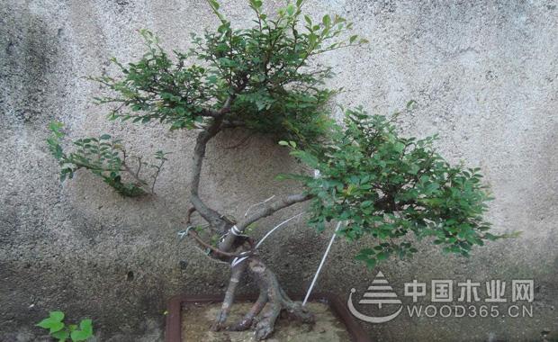 榆树盆景养护修剪介绍|榆树盆景图片