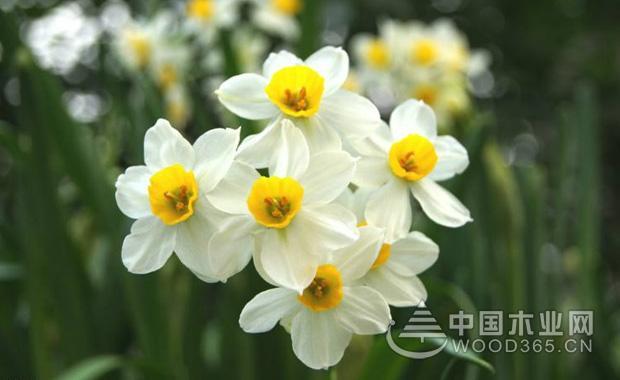 水仙花的知识|水仙花图片1