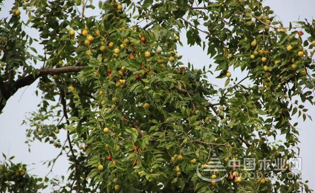 枣树几年结果?