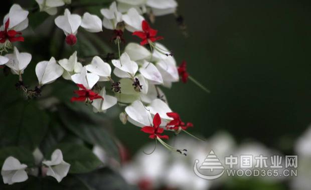龙吐珠花的养殖方法|龙吐珠图片2