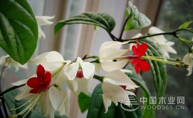 龙吐珠花的养殖方法|龙吐珠图片3