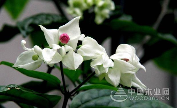 龙吐珠花的养殖方法|龙吐珠图片4