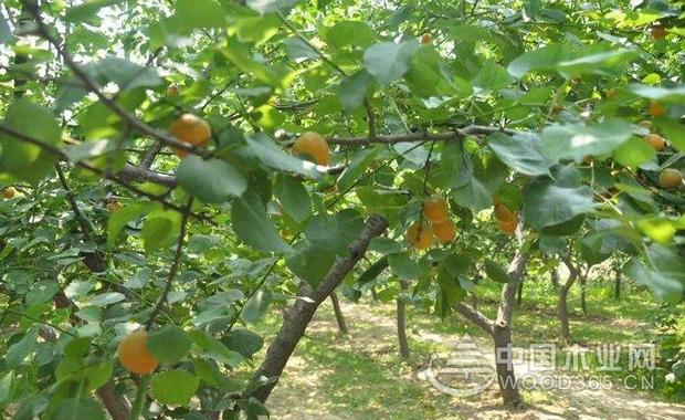 家里种杏树好不好