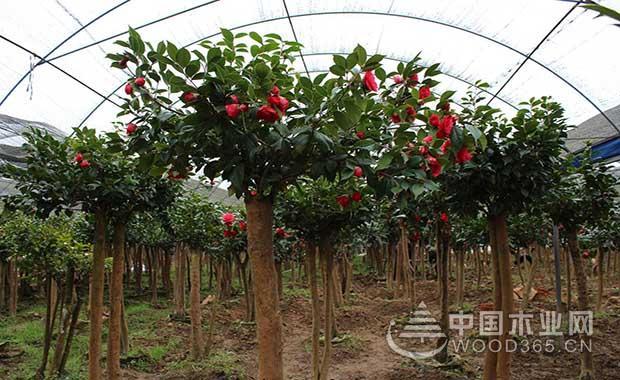 如何采用油茶树嫁接茶花呢?